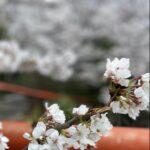 桜満開の週末🌸