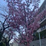 🌸桜が咲いてました🌸
